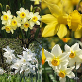 Species Narcissi 'Mixed' BULK - 100 or 250 bulbs