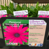 Osteospermum 'Nairobi Purple' 1ltr Pot