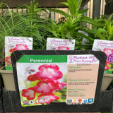 Penstemon 'Phoenix Pink' 1ltr pot