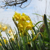 Double Daffodil 'Yellow Cheerfulness' - 1.5kg