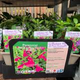 Salvia greggii 'Orchid Glow' 1ltr pot