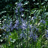 Camassia leichtlinii - PACK of 2 bulbs