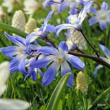 Chionodoxa forbesii BULK - 100 or 250 bulbs