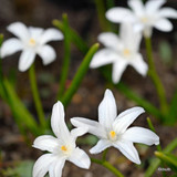 Chionodoxa luciliae 'Alba' - PACK of 22 bulbs