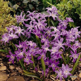Chionodoxa luciliae 'Pink Giant' - PACK of 19 bulbs