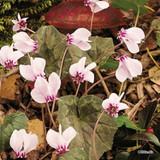 Cyclamen hederifolium BULK of 25 or 50 corms