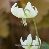 Erythronium 'White Beauty' BULK 25 or 50 bulbs
