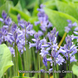 Hyacinthoides non sciptus (English Bluebells) - PACK of 5 bulbs