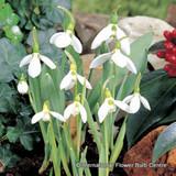 Galanthus elwesii (Snowdrop) BULK - 100 or 250 bulbs