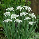 Galanthus 'Flore Pleno' (Double Snowdrops) BULK 100 or 250 Bulbs