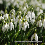 Galanthus nivalis (Single Snowdrops) BULK - 100 or 250 Bulbs