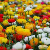 Ranunculus 'Paeony Flowered Mixed' BULK - 100 or 250 Bulbs