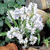 Puschkinia libanotica BULK - 100 or 250 Bulbs