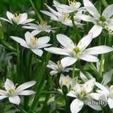 Ornithogalum umbellatum BULK -, 100 or 250 Bulbs
