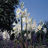Lilium candidum BULK - 25 or 50 Bulbs