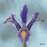 Iris 'Sapphire Beauty' (Dutch) BULK - 100 or 250 Bulbs