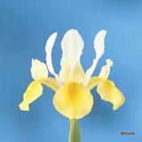 Iris 'Symphony' (Dutch) BULK - 100 or 250 Bulbs