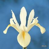Iris 'White Excelsior' (Dutch) BULK - 100 or 250 Bulbs