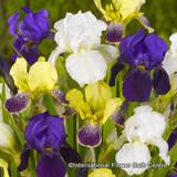 Iris 'Mixed' (Dutch) BULK - 100 or 250 Bulbs