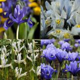 Iris 'Mixed' (species) BULK - 100 or 250 Bulbs