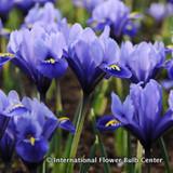 Iris reticulata (species) BULK - 100 or 250 Bulbs