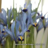 Iris reticulata 'Cantab' (species) BULK 100 or 250 Bulbs
