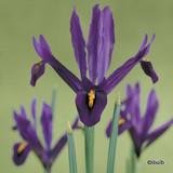 Iris reticulata 'J.S Dijt' (species) BULK - 100 or 250 Bulbs