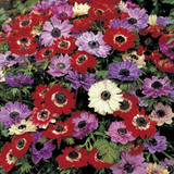 Anemone 'St Brigid mixed' - PACK of 11 bulbs