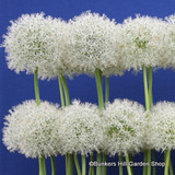 Allium 'Mount Everest' BULK - 25 or 50 bulbs
