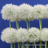 Allium 'Mount Everest' - PACK of 1 bulb