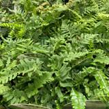 Polystichum polyblepharum (Fern) - 9cm pot