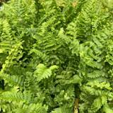 Dryopteris felix-mas Crispa Cristata (Fern)- 9cm pot