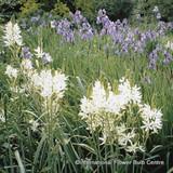 Camassia leichtlinii 'Alba'- 100 or 250 Bulbs