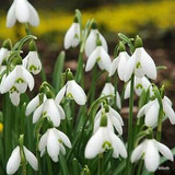 Galanthus woronowii BULK - 100 or 250 bulbs