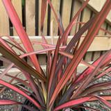 Phormium 'Pink Panther' 3ltr pot