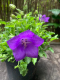 Campanula  - Deep purple