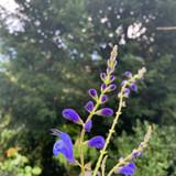 Salvia sag. 'Blue Butterflies' - 9cm pot