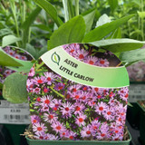 Aster 'Little Carlow' - 9cm pot