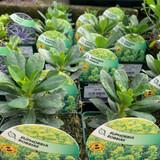 Euphorbia amy. 'Robbiae' - 9cm pot