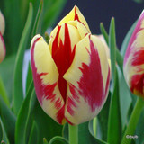 Tulip 'Grand Perfection' - PACK of 11 bulbs