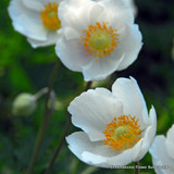 Anemone 'De Caen The Bride' - PACK of 19 bulb