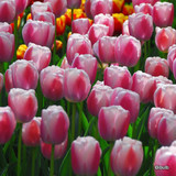 Tulip 'Dreaming Maid' - PACK of 12 bulbs