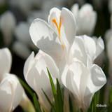 Crocus (large flowering) White BULK - 100 or 250 bulbs