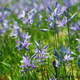 Camassia esculenta (quamash) - PACK of 18 bulbs