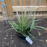 Calamagrostis ac. Overdam (Grass) - 4ltr pot