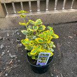 Euonymus 'Emerald & Gold' - 1ltr
