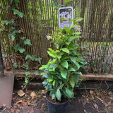 "Trachelospermum jasminoides (Star Jasmine) - 3ltr pot"""
