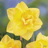 Double Daffodil 'Golden Ducat' BULK - 25kg