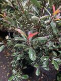 Photinia 'Pink Marble' 5-6ft
