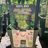 Vitis 'Lakemount' (Grape Vine)